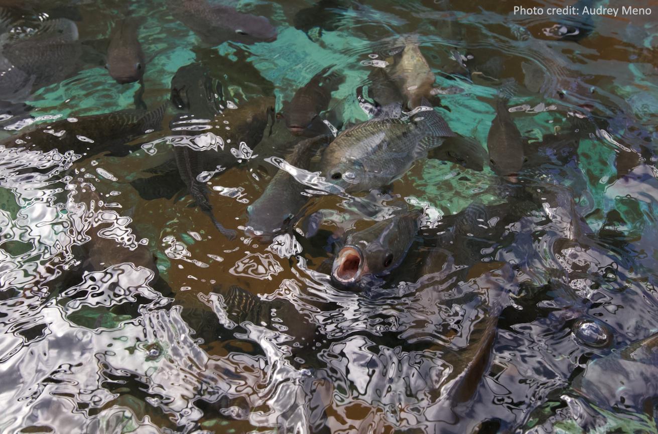 Tilapia fish at the Fadian Hatchery in Mangilao, Guam