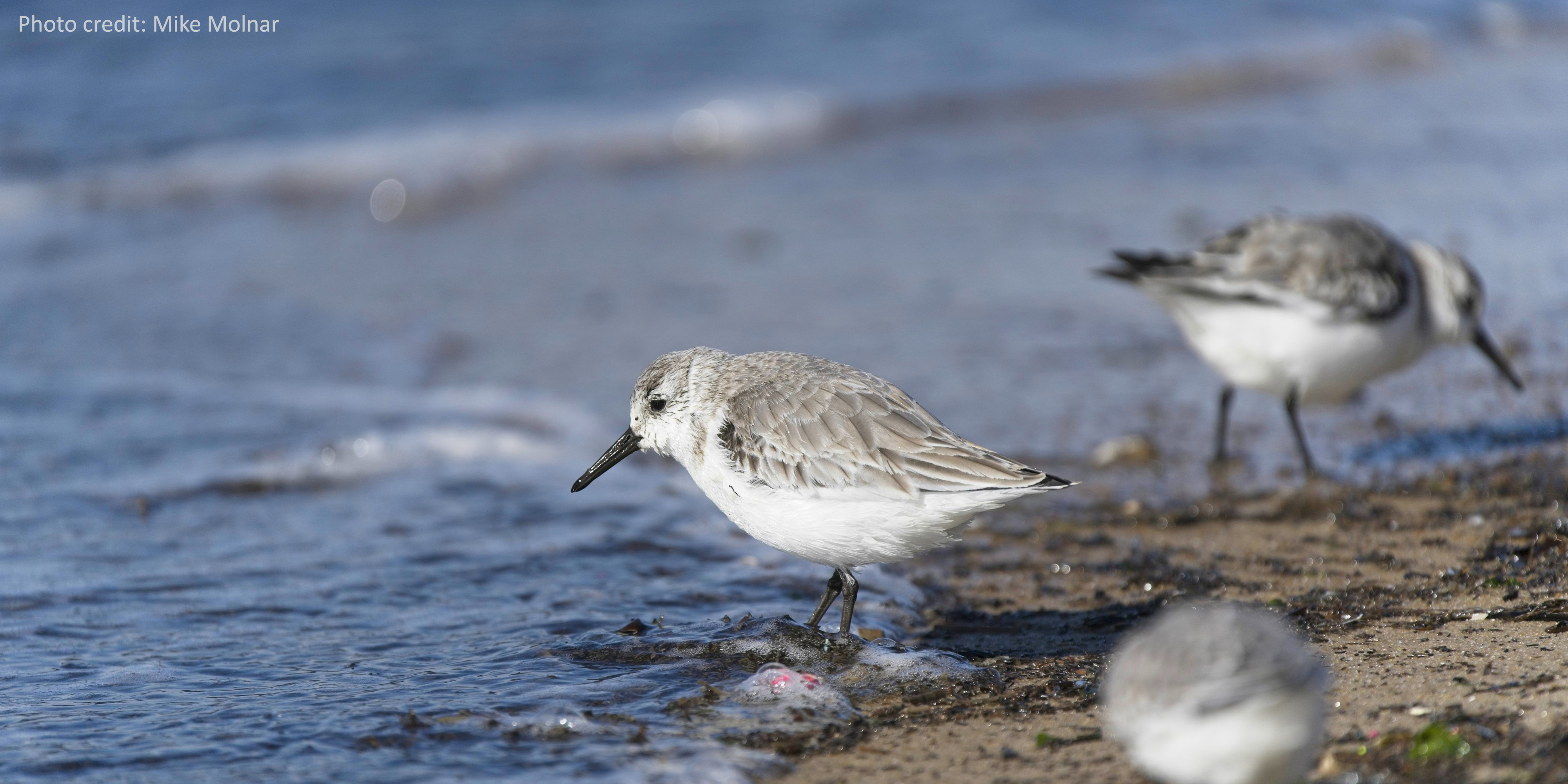 Group of sanderlings on the beach at Cape Henlopen State Park near Lewes, Delaware