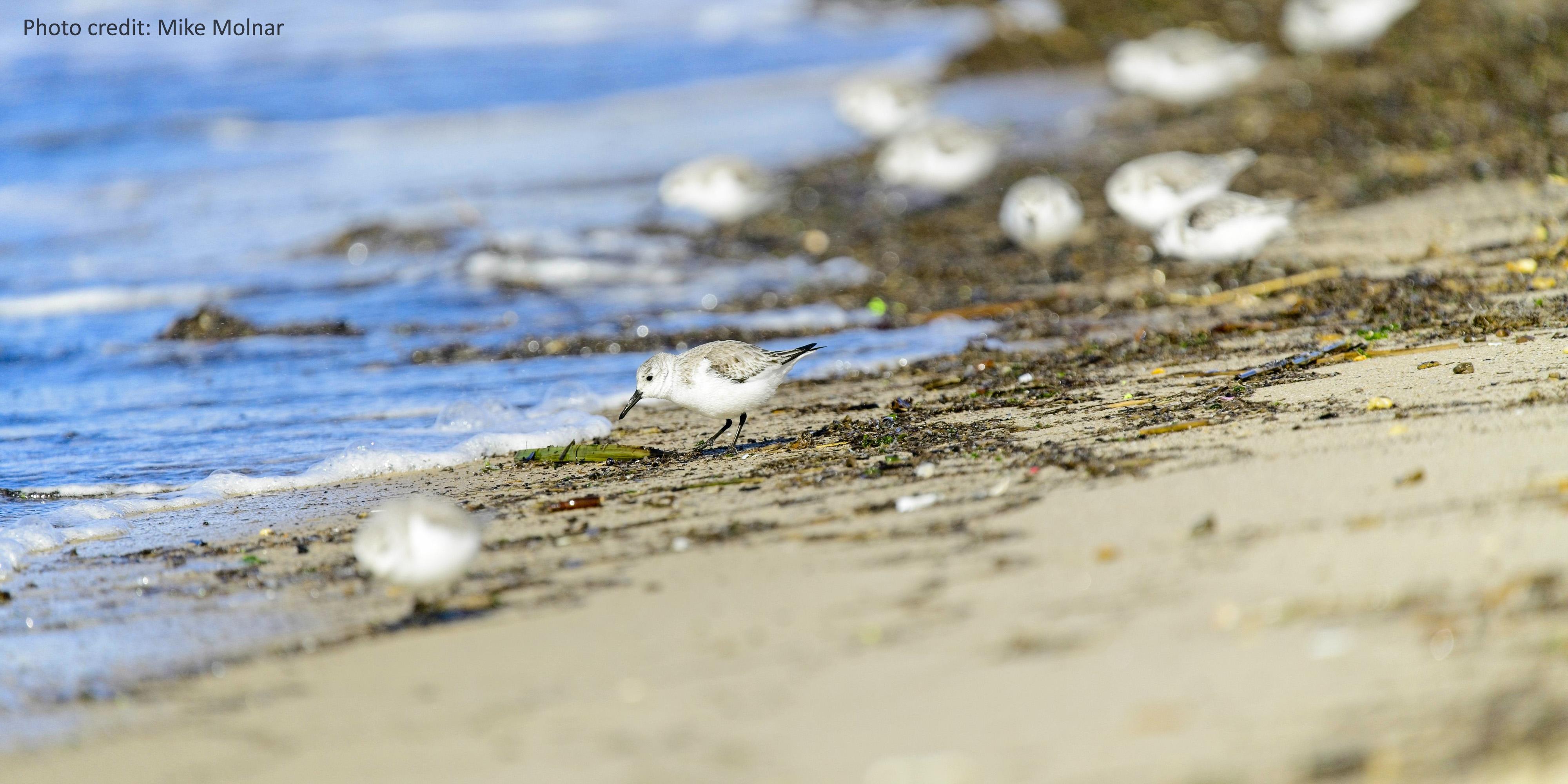 group of sanderlings at Cape Henlopen State Park near Lewes, Delaware