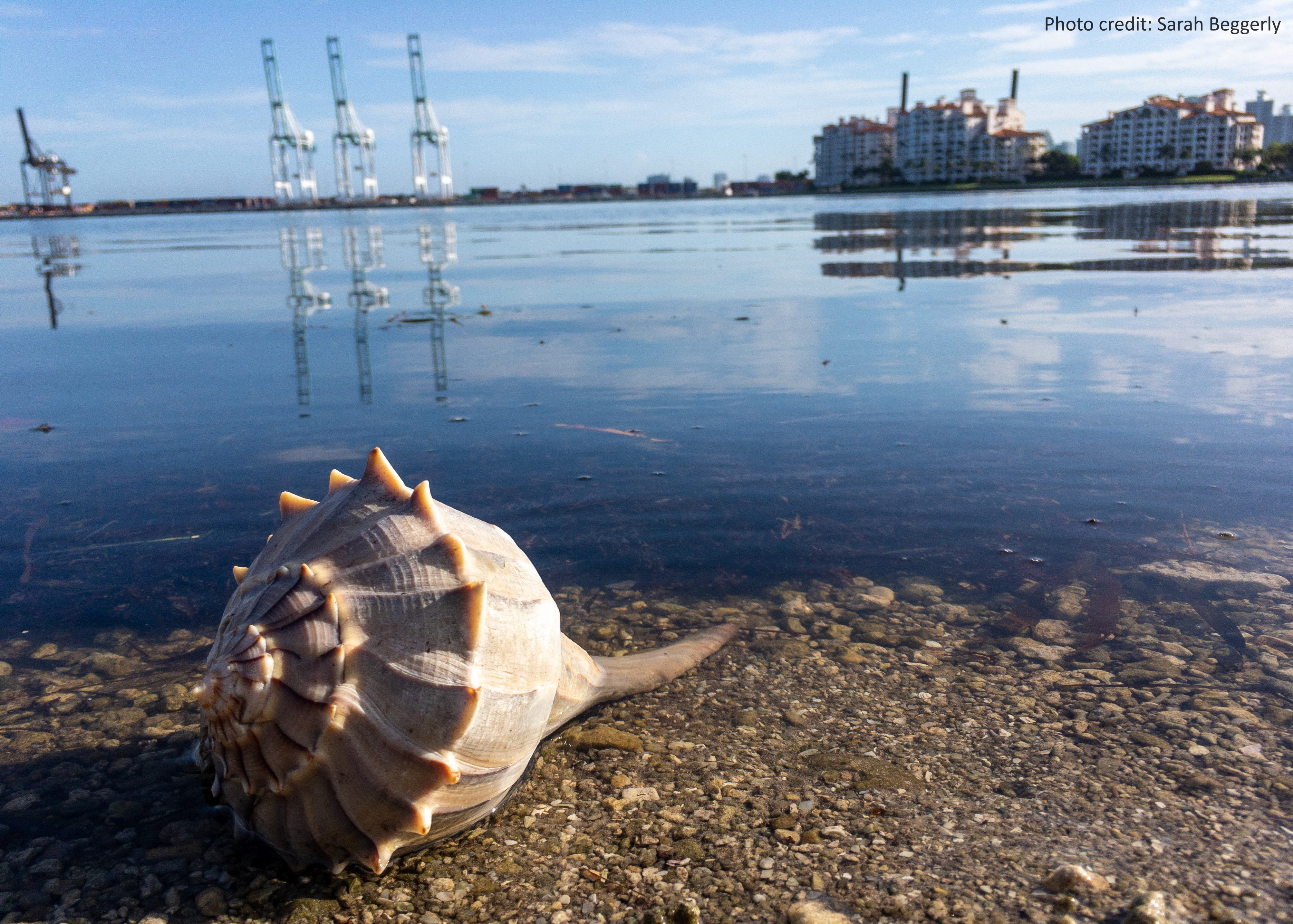 Whelk in the shadow of the Port of Miami, Florida