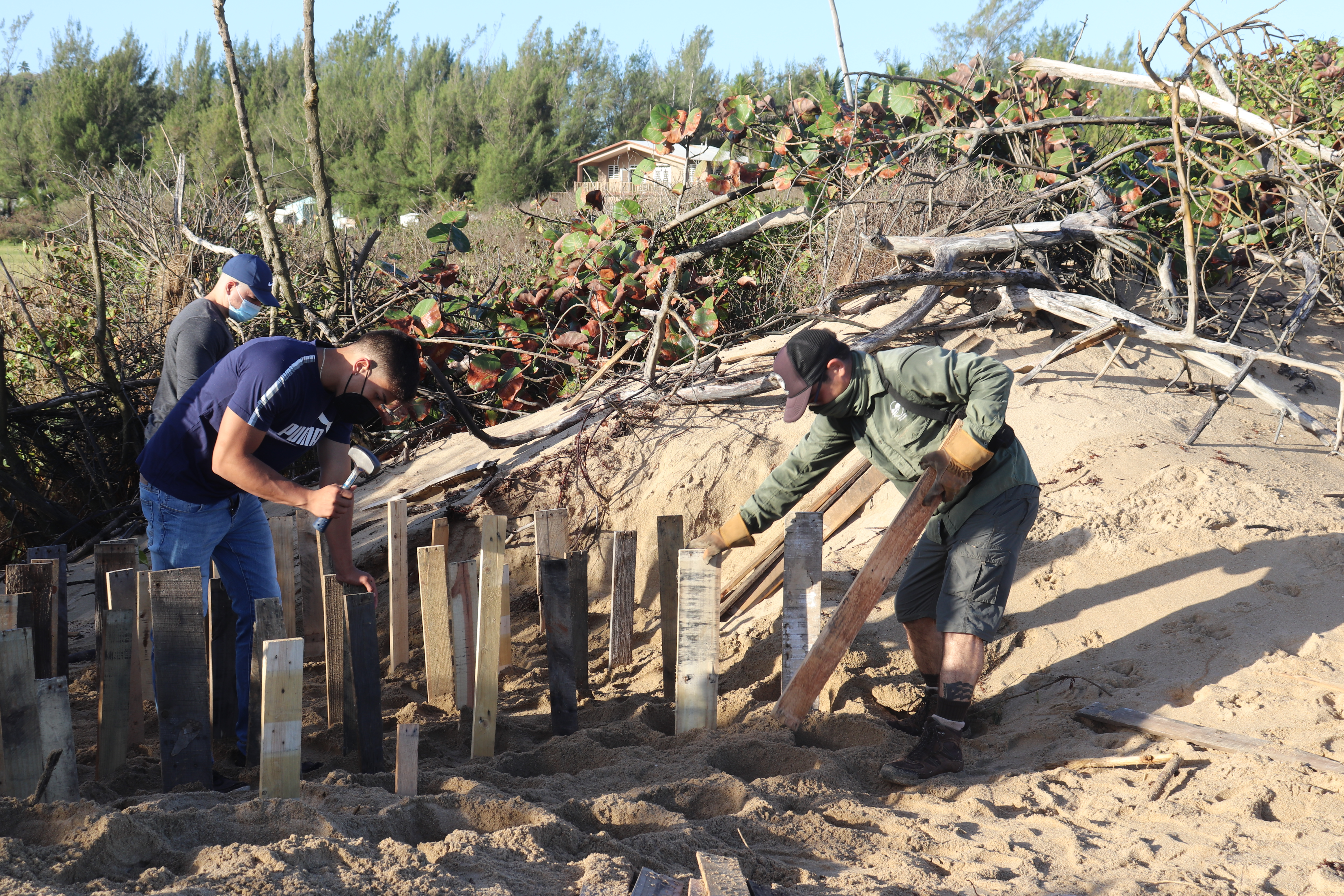 Three workers setting and hammering boards into the sand in Puerto Rico. A sand dune covered in vegetation is in the background.