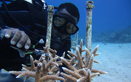 Coral nurseries support coastal recovery