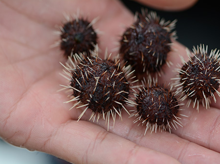 human hand holding tiny sea urchins