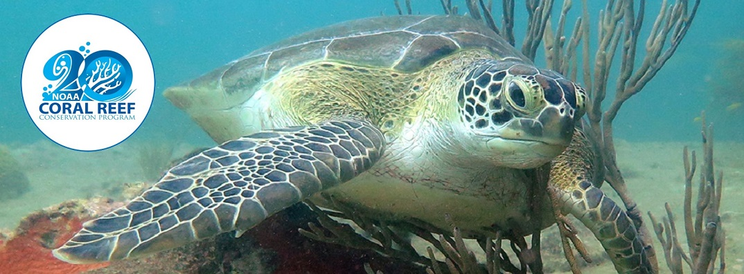 A green sea turtle gives itself a belly rub on soft coral at the wreck of Benwood in Florida Keys National Marine Sanctuary.