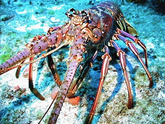Spiny lobster is a commercially important fishery species in the south Atlantic, 