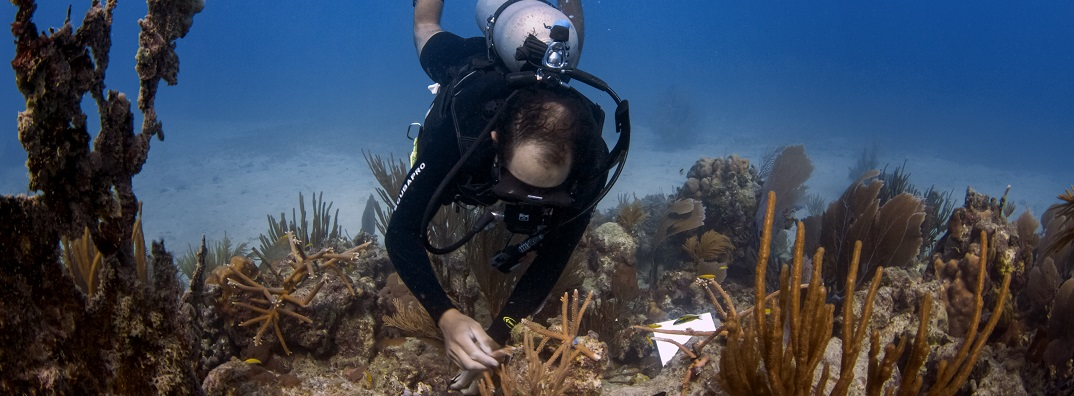 A diver assesses recently planted coral. Credit: Hector Ruiz/HJR Reefscaping.