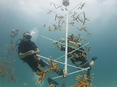 Corals grown in underwater nurseries can be replanted on damaged reefs or studied by researchers