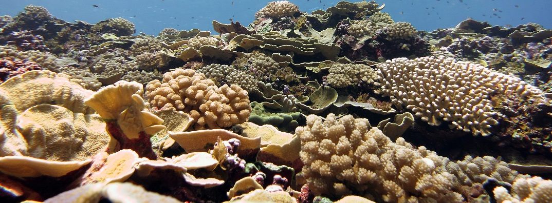 Corals at Swains Island in American Samoa