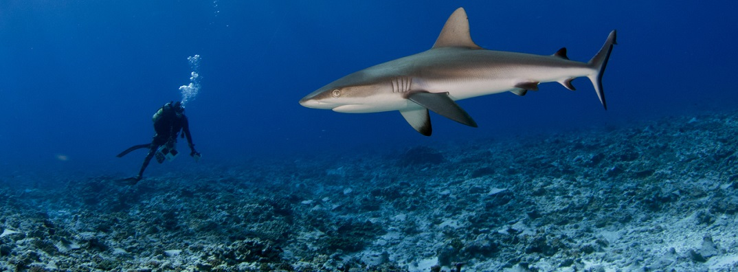 A gray reef shark comes in for a closer inspection of a census of fish biomass and biodiversity during coral reef surveys in American Samoa and the Pacific Remote Islands. (NOAA Fisheries/Jeff Milisen)