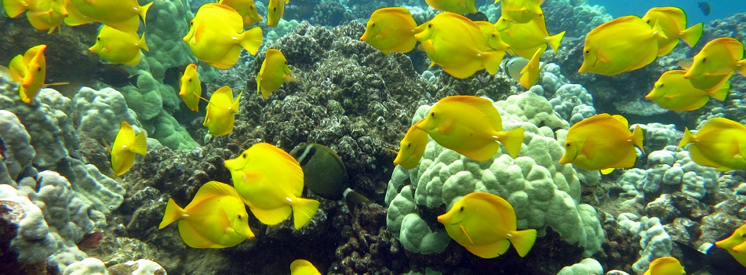 Yellow tang school around a reef in Hawaii