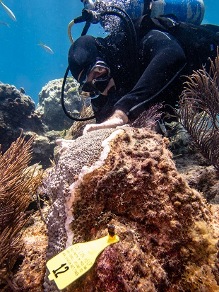A diver applies an antibiotic paste to a diseased colony of great star coral on Molasses Reef in Florida Keys National Marine Sanctuary.