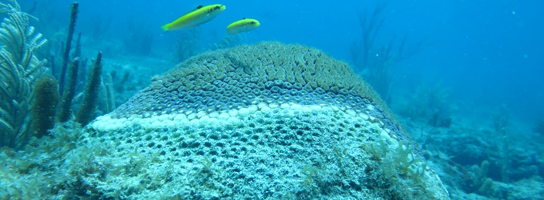 Coral colony showing signs of stony coral tissue loss disease