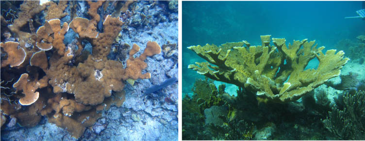 Can you spot the zombie? Despite being virtually identical, one elkhorn coral in this photo is a zombie, while the other is still reporductively viable. Credit: NOAA