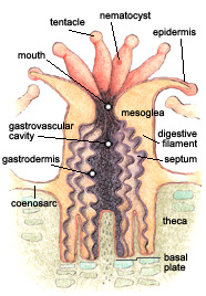 Structure of a typical coral polyp.