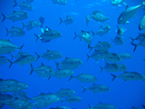 Typically living in inshore coastal waters, schools of bigeye trevally (Caranx sexfasciatus) are often inquisitively encircling divers.  Credit: NOAA