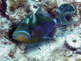 A queen triggerfish (Balistes vetula) observed during coral reef ecological surveys conducted in St. Croix, U.S. Virgin Islands.  Credit: NOAA