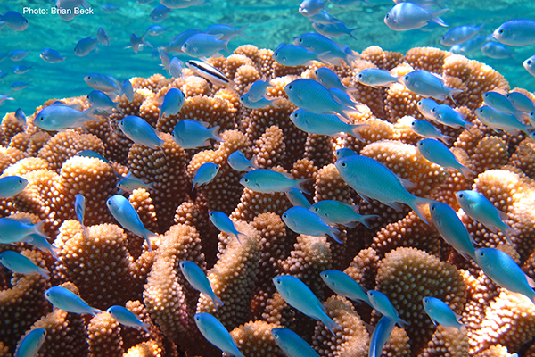 A school of blue chromis swim over a colony of Pocillopora in French Polynesia. Credit Brian Beck
