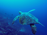 During a towed diver survey large mobile reef fish and other reef residents like this <i>Chelonia mydas</i> (Green Sea Turtle) are quantified throughout the US affiliated Pacific. Credit: NOAA, James Morioka.