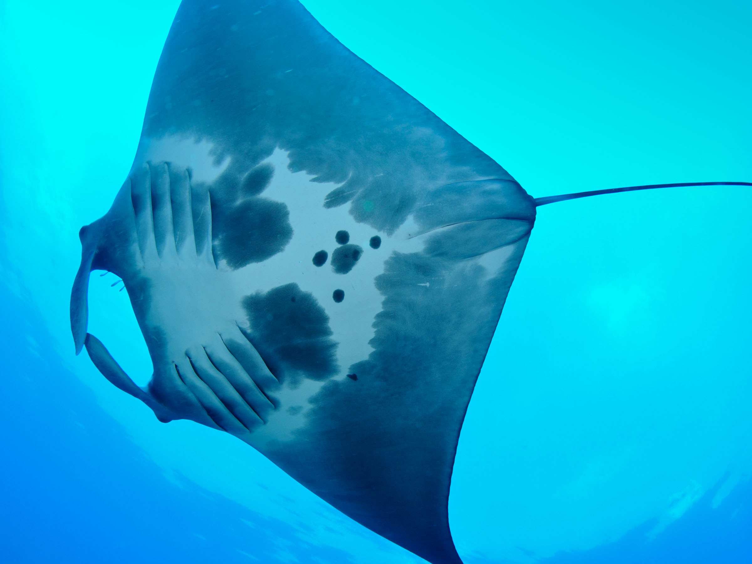 Manta Rays are frequent visitors to Flower Garden Banks National Marine sanctuary in the northwestern Gulf of Mexico. Each individual has a unique spot pattern of black and white on its underside, and over 80 mantas have been identified within the sanctuary. NOAA, G.P. Schmahl