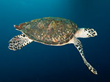 Hawksbills (Eretmochelys imbricata) are one of two speices of sea turtle known to frequent Flower Garden Banks National Marine Sanctuary. Their preferred diet is sponges, which are quite common in the sanctuary. NOAA, G.P. Schmahl