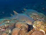A pair of Nurse Sharks (Ginglymostoma cirratum) resting on the reef in Flower Garden Banks National Marine Sanctuary. NOAA, G.P. Schmahl