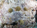 Brain coral recruits at East Flower Garden Bank in Flower Garden Banks National Marine Sanctuary. Credit: NOAA, G.P. Schmahl