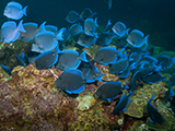 This colorful school of Blue Tangs (<i>Acanthurus coeruleus</i>) was observed at East Flower Garden Bank in Flower Garden Banks National Marine Sanctuary. Credit: NOAA, G.P. Schmahl.