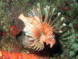 The invasive lionfish has a booming population in Florida, posing a threat to Florida's coral reefs.   Credit: NOAA, Michelle Johnston