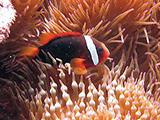 In American Samoa an adult Dusky Clownfish (<i>Amphiprion melanopus</i>) nestles in amongst the tentacles of a bubble-tip anemone (<i>Entacmaea quadricolor</i>), which affords both the fish and anemone protection from different predators.     Credit: NOAA, Kevin Lino