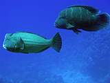 Both the Green Bumphead Parrotfish (<i>Bolbometapon muricatum</i>) and the Humphead Wrasse (<i>Cheilinus undulatus</i>) are the largest parrotfish and wrasse in the world. They are also key indicator species to the health of a reef. Both are also on the International Union for Conservation of Nature&#39;s Red List for vulnerable and endagered species, as both are extremly vulnerable to overfishing.  Credit: NOAA