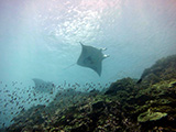 A pair of reef manta rays (Manta alfredi) coast over the shallow reefs of Howland Island, Pacific Remote Islands Marine National Monument. Credit: NOAA, Paula Ayotte
