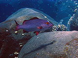 The Red Snapper (<i>Lutjanus bohar</i>) is quite common on many reefs including the remote islands in the Commonwealth of the Northern Marianas Islands.   Credit: NOAA