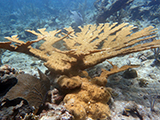 "<i>Acropora palmata</i> colony observed during National Coral Reef Monitoring Program surveys in St. Thomas, 2015. <i>A. palmata</i> is listed as ""threatened"" under the Endangered Species Act.  Credit: NOAA."