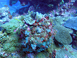 Coral community at Flower Garden Banks National Marine Sanctuary observed during a National Coral Reef Monitoring Program mission in August 2015.  Credit: NOAA.