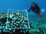 A scuba diver surveys bleached corals in the U.S. Virgin Islands. Credit: NOAA