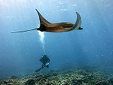 An inquisituve reef manta ray<i>(Manta alfredi)</i> casually glides past a pair of divers conducting a fish survey at Palmyra Atoll in the Pacific Remote Islands Area Marine National Monument.    Credit: NOAA, James Morioka