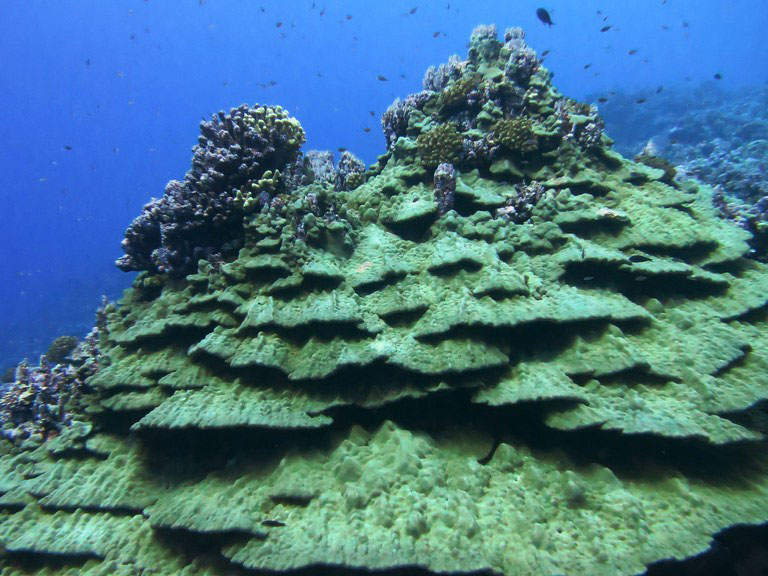 Massive colony of Porites showing conspicuous layered towering structure at Rose Atoll Marine National Monument, American Samoa.  Credit: NOAA, Louise Giuseffi