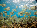 School of convict tang or convict surgeonfish (Acanthurus triostegus) in the Northwestern Hawaiian Islands, Papahānaumokuākea Marine National.  Credit: NOAA