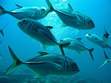 The bigeye trevally (Caranx sexfasciatus) is commonly found in large slow moving schools during the day and become more active when feeding at night.  Credit: NOAA
