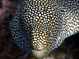 The Whitemouth Moray Eel <i>(Gymnothorax meleagris)</i> is found throughout the Indo-Pacific lurking in nooks in reef awaiting unsuspecting fish to pass by too closely.  Credit: NOAA, Kevin Lino