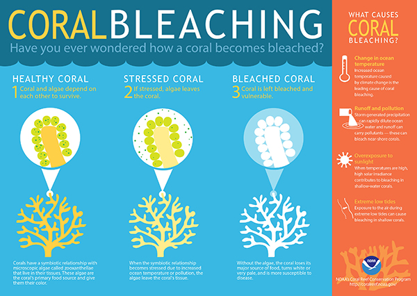 Coral Bleaching: Have you ever wondered how a coral becomes bleached