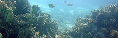 Hawaiian corals