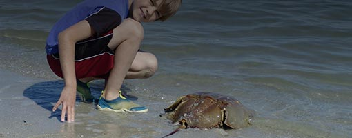 Image for lesson Hooray for Horseshoe Crabs