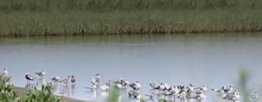 Screenshot of video Birds of the Barataria-Terrebonne