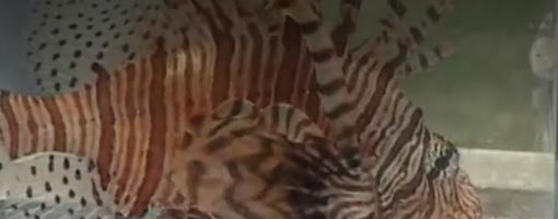 Screenshot of video Lionfish: Estuary Invaders?