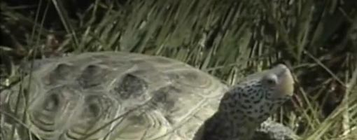 Screenshot of video New Jersey Terrapin Close-up