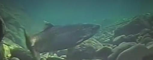 Screenshot of video Salmon Underwater