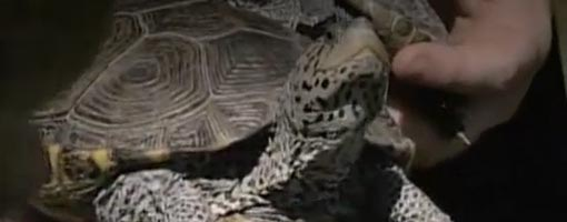 Screenshot of video Totally Terrapins