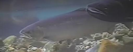 Screenshot of video Urban Estuaries: Salmon on the Decline