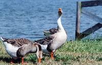 Geese%20Mary_Hollinger_NOAA.jpg